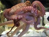 Менеджер аквариума «Зеелайф»: «У нас есть маленький осьминожик, который регулярно обучался у Пауля»