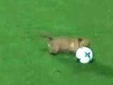 В Аргентине собака выбежала на поле во время матча, а позже «отказалась давать интервью» (ВИДЕО)