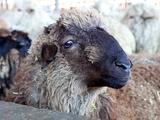 Защитники животных будут следить, чтобы «Шахтер» не зарезал барана в Глазго