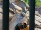 В честь игроков «Наполи» назвали осла и 11 козлов
