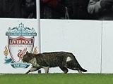 Ливерпульский «кот-страйкер» прославился не только на поле (ВИДЕО)