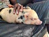 Балотелли купил свинку и назвал ее Супер