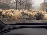 Риккардо Монтоливо пострадал от коз и овец (ФОТО)
