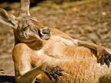 В Австралии во время матча кенгуру выскочил на поле и улёгся в штрафной площадке (ВИДЕО)