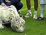 «Вальядолид» тренировался с… тигром