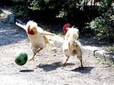 Матч аргентинского первенства прервали… куры (ВИДЕО)