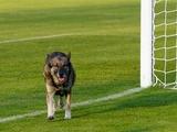 Матч Кубка Уэльса был дважды остановлен из-за собачьих экскрементов