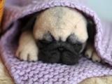 Коли маленький мопсик спить
