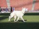 В матче чемпионата Швейцарии на поле выбежала собака президента «Цюриха». Хозяину пришлось лично её выгонять (ФОТО, ВИДЕО)